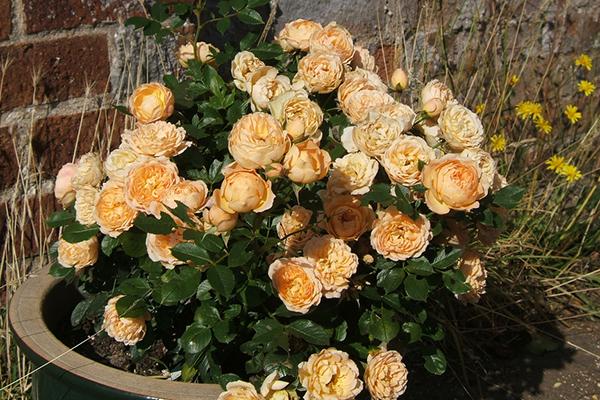 Rose sweet dreams-n