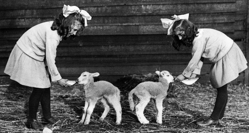 lambs-n