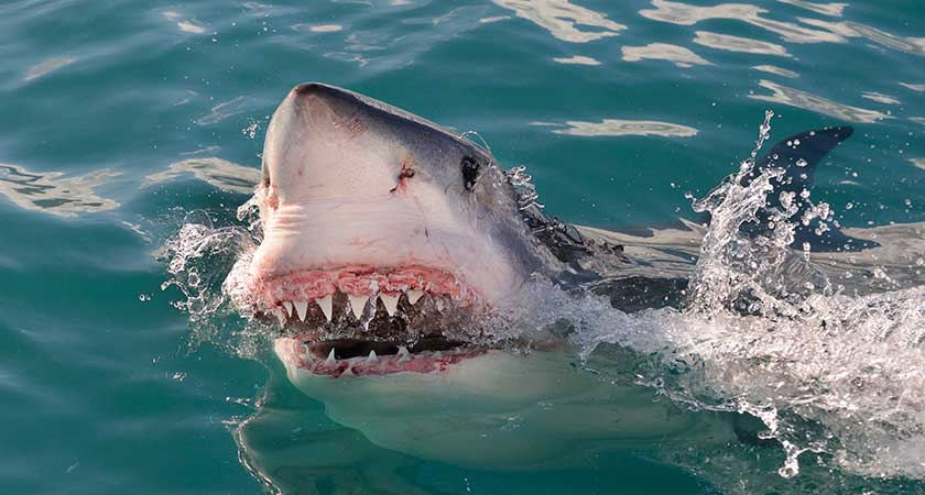 Fortunately no great white sharks are expected in Ireland soon Picture: iStock