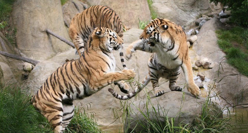 Tigers playing at Dublin Zoo. Picture: Tourism Ireland
