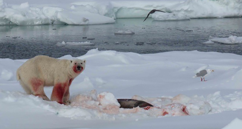 A hungry polar bear feeding in the Arctic. (Picture: Joyce Ferder Rankin)