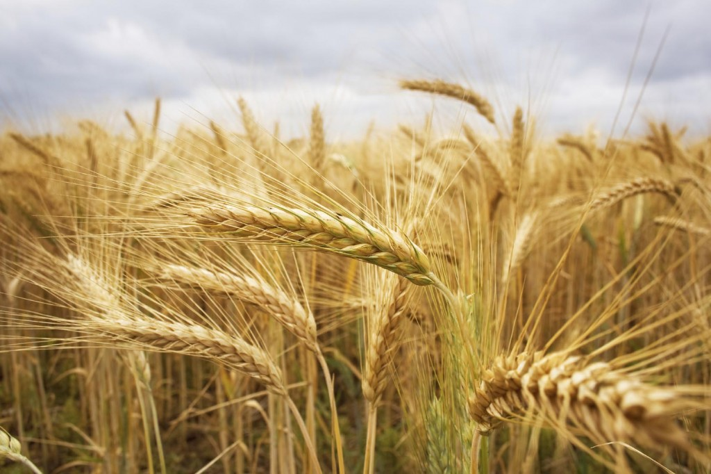 The wind that shakes the barley — making the perfect grain. Picture: iStock