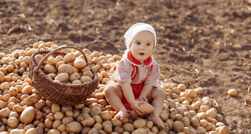 Happy child (girl) helps parents take the crop of potato on a sunny autumn day in a garden. Kid sitting on a big heap of potatoes and folds vegetables to basket.