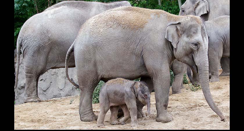 Mum Asha and her new calf at Dublin Zoo. (Source: Dublin Zoo)