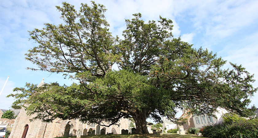 Mayo was named after its Yew Tree population [Via: Wikipedia Commons]