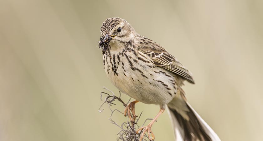 Banaltra na cuaiche — the meadow pipit