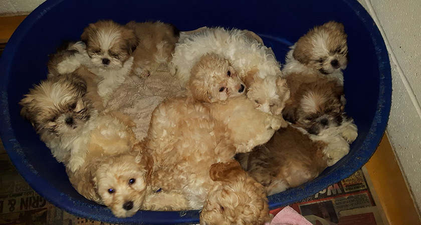 Some of the puppies seized during Operation Delphin. (Picture: DSPCA/Facebook)