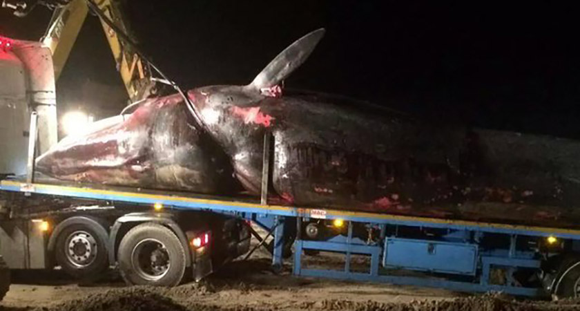It took a lorry to remove the whale's 10-tonne carcass [Picture: Twitter]