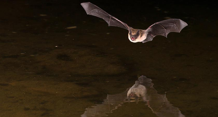 Vampire Bats Social Distance When They Get Sick, Slowing Disease Spread