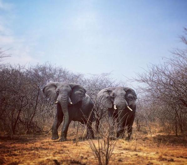 Botswana ends ban on elephant hunting causing international outrage