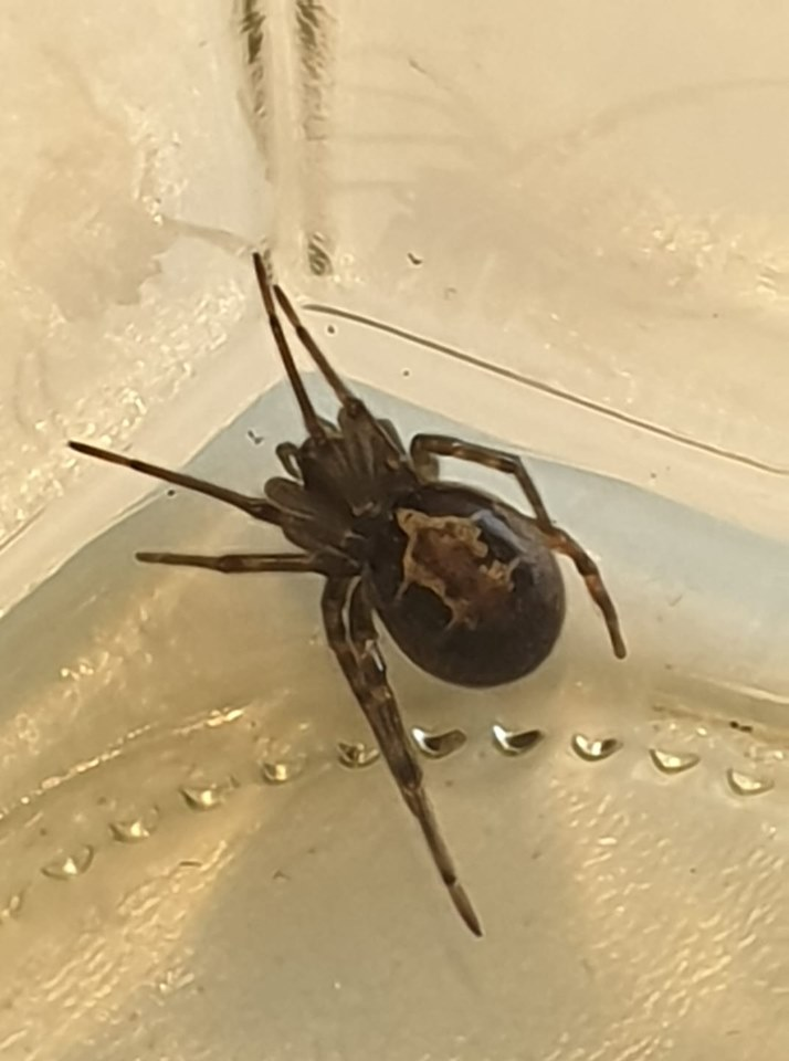 False black widow spiders spotted in various Irish towns | The Irish Post