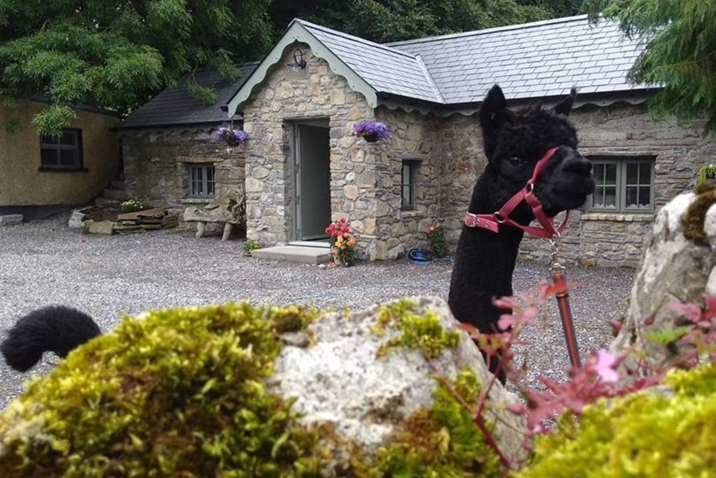 Alpaca my bags!: This Irish Airbnb lets you stay on an