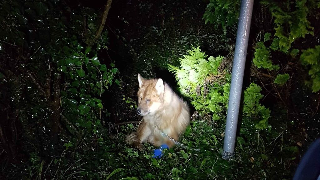 Dog found chained to gate in 'excrutiating pain' out in torrential rain is rescued.
