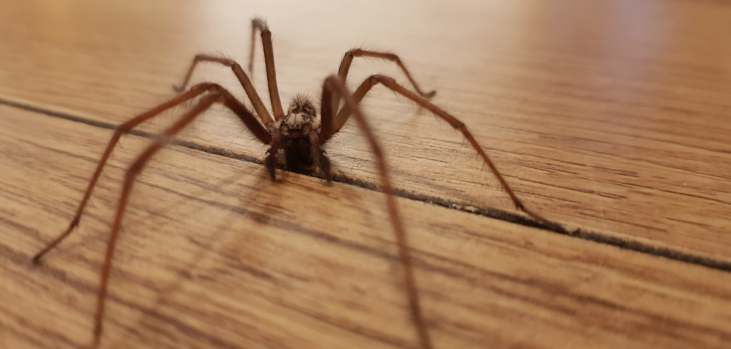 Ireland under attack from sex-crazed spiders 'the size of your hand'