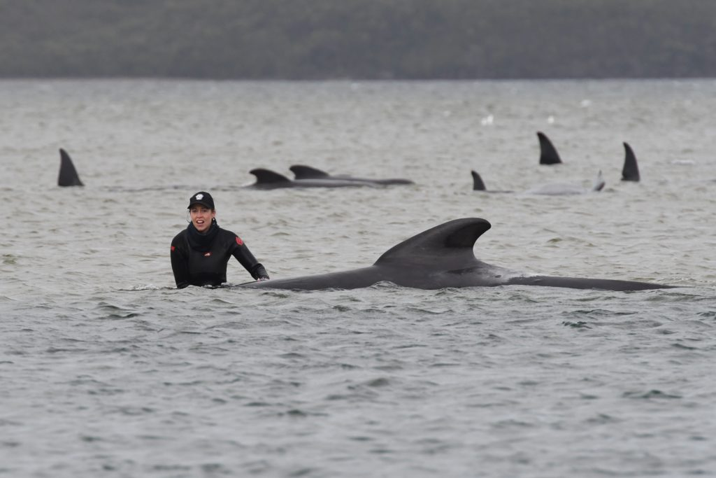 More than 450 whales now stranded in Tasmania after another 200 found