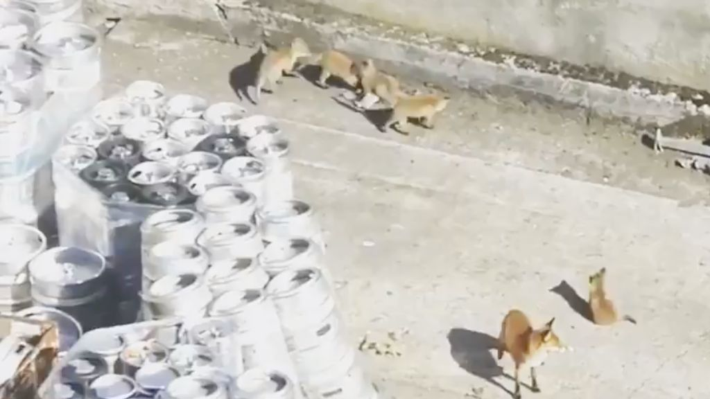 WATCH: Adorable family of foxes take up residence among barrels at Guinness Storehouse in Dublin